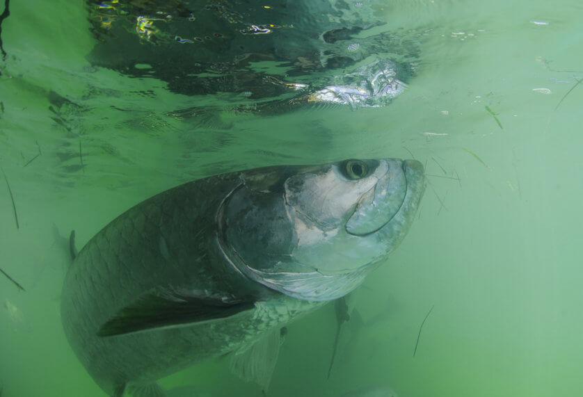 Tarpon fish in its natural haibitat