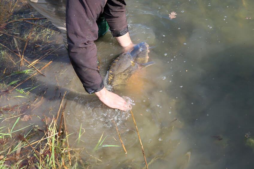 a very large carp caught