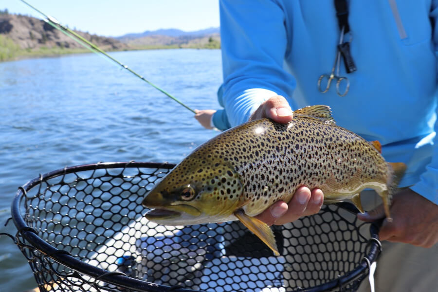 brown trout in fly fishing net