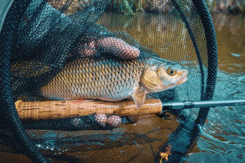 chub caught in landing net by fly fishing fisherman