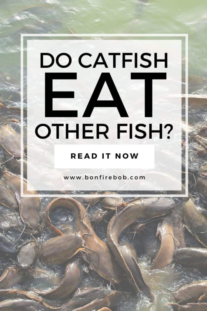 Do catfish eat other fish? If you want to learn everything about catfish you have to know if catfish eat other fish - or, if I were you I would wanna know. #catfisheatingcatfishg #catfisheatcatfish #catfisheatfish #catfishbait #catfishing #catfishfishing #catfishtips #findingcatfish #fishingforcatfish #tipscatfish #fishing #fishingtips #fishingbeginners #fishingtricks