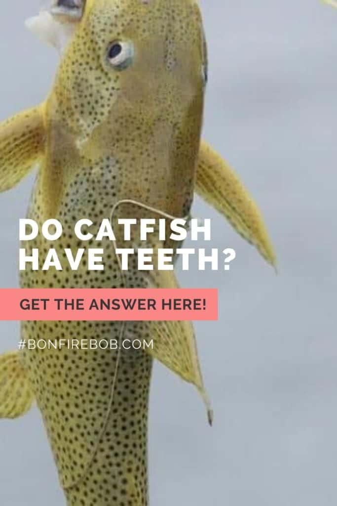 Do catfish have teeth and do they bite? Learn all you need to know about catfish teeth right here. #findingcatfish #fishingtips #tipscatfish #catfishing #catfishfishing #catfishtips #catfishbite #fishingbeginners #catfishspawn #catfishing #catchingcatfish