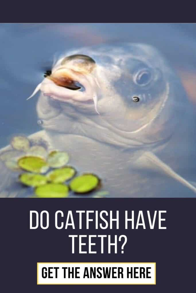 Do catfish have teeth and do they bite? Learn all you need to know about catfish teeth right here. #catfishing #catchingcatfish #catfishing #catfishfishing #catfishtips #catfishbite #findingcatfish #fishing #fishingtips #fishingbeginners #catfishspawn