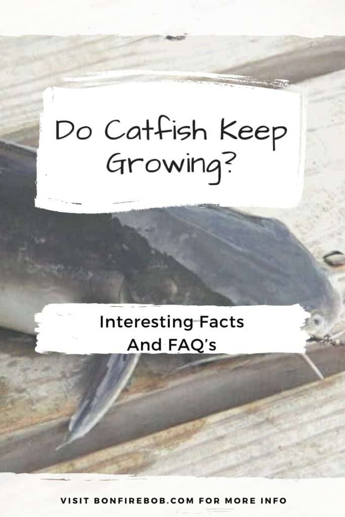 Do catfish keep growing? Learn all about the size of catfish in my easy to read guide. #catfishing #catchingcatfish #catfishing #catfishfishing #catfishtips #tipscatfish #fishing #fishingtips #catfishbite #fishingbeginners #catfishspawn