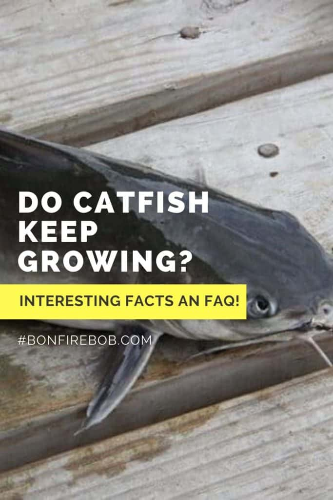 Do catfish keep growing? Learn all about the size of catfish in my easy to read guide. #fishing #fishingforcatfish #tipscatfish #catfishing #catfishfishing #catfishtips #catfishbite #fishingbeginners #catfishspawn #catfishing #catchingcatfish