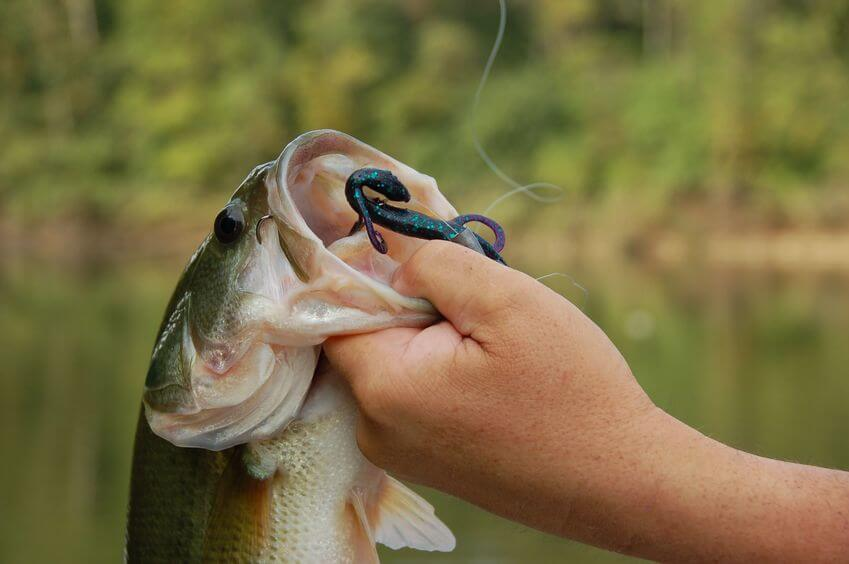 fisherman holding a large mouth bass