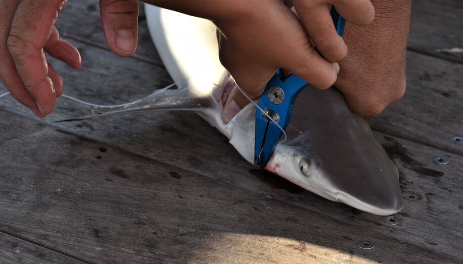 fisherman using fishing pliers to release small shark