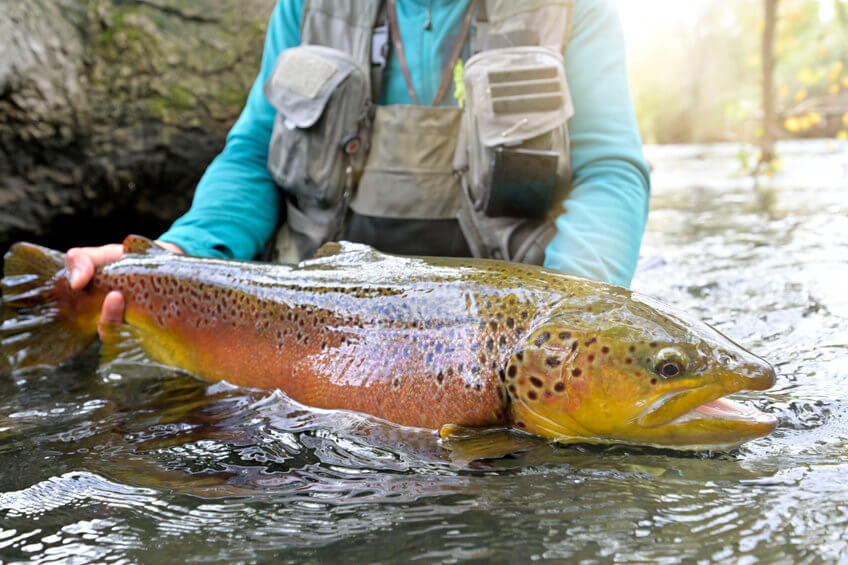 fly fisherman taking a big brown trout