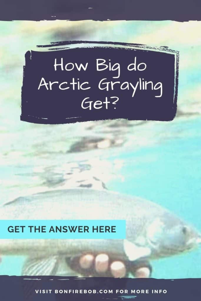 How big do Arctic Grayling get? Read my article on the size of an Arctic Grayling. #arcticgrayling #catchgrayling #catcharcticgraying #arcticgraylingfish #graylingfish #fishing #arcticgraylingfishing #graylingfishing #graylingflyfishing