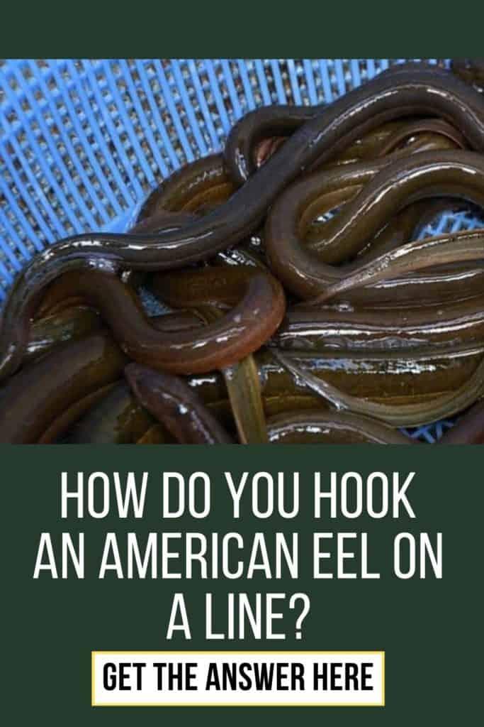 How do you hook an American Eel on a line? This is my guide on how to hook an American Eel on a line with ease. #eelfishing #fishingforeel #eelfish #eelfishtank #eelfishing #catchamericaneel #americaneel #americaneelfish #catcheel