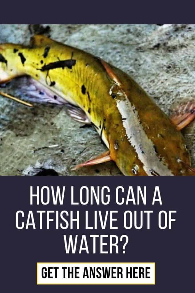 How long can a catfish live out of water? I've got the answer for you right here. Lean all you need to know about catfish here. #fishingbeginners #catfishspawn #catfishing #catfishfishing #catfishtips #catfishing #catchingcatfish #catfishbite #tipscatfish #fishingforcatfish #findingcatfish