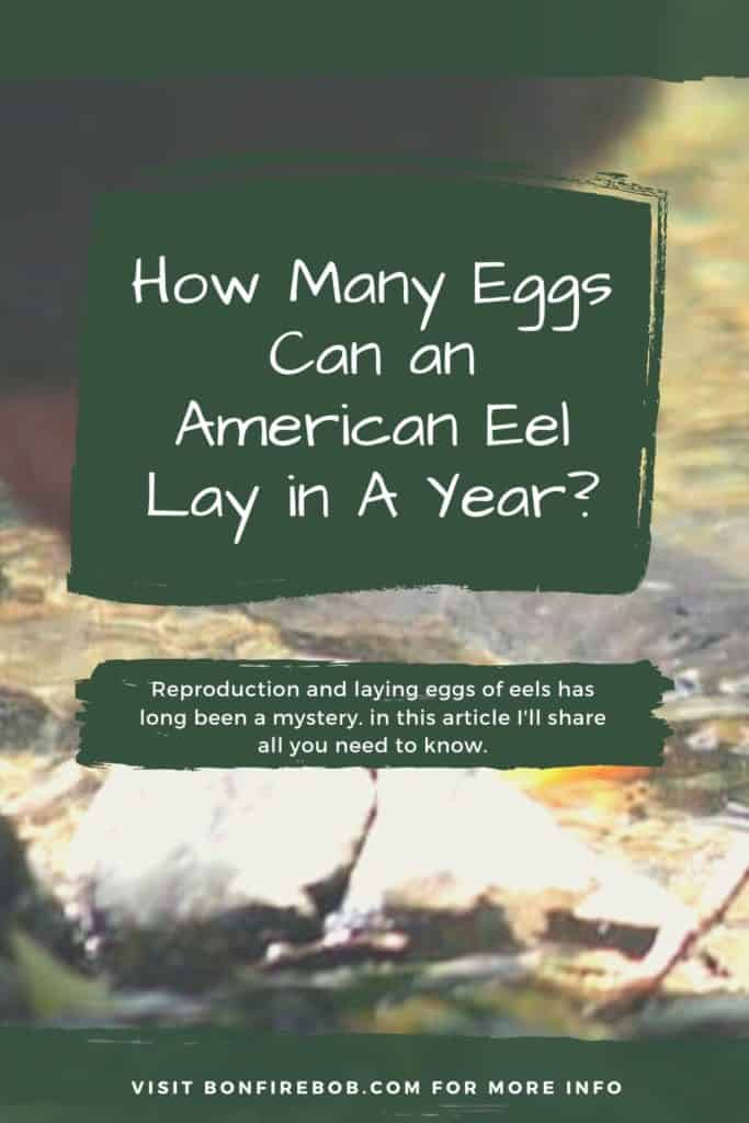 How many eggs can an American Eel lay in a year? Have you ever wondered how many eggs an American Eel lay each year? Get the answer here. #eelfishing #catchamericaneel #eelfish #eelfishtank #eelfishing #fishingforeel #catcheel #americaneel #americaneelfish
