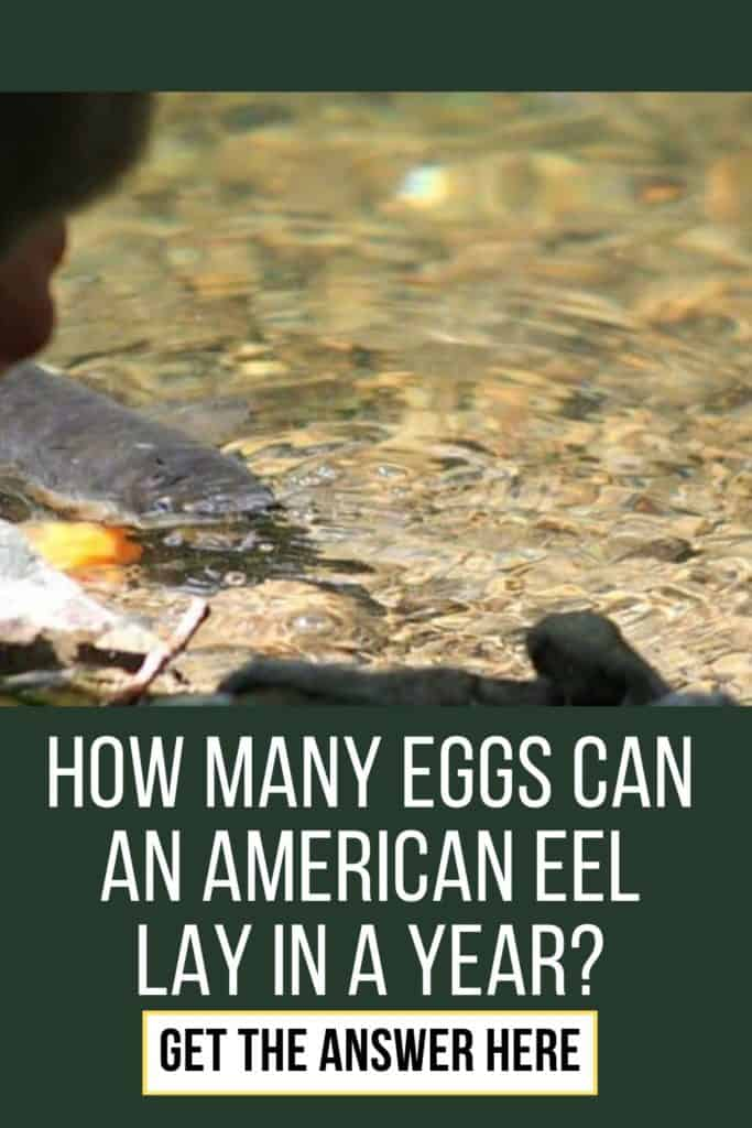How many eggs can an American Eel lay in a year? Have you ever wondered how many eggs an American Eel lay each year? Get the answer here. #americaneel #americaneelfish #catcheel #eelfishing #fishingforeel #eelfishing #catchamericaneel #eelfish #eelfishtank