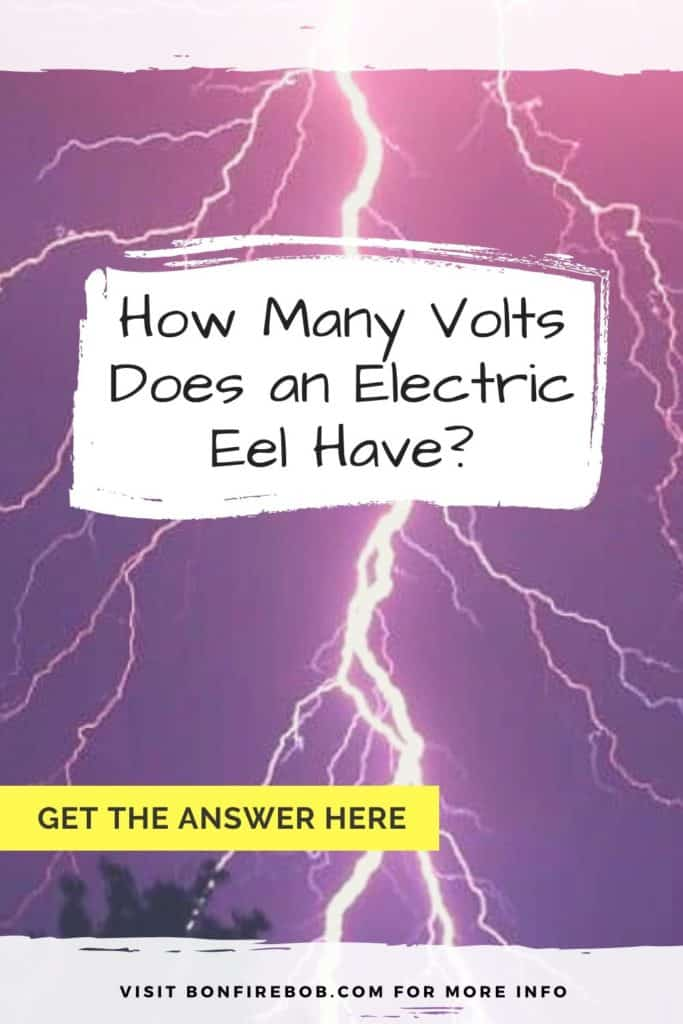 How many volts does an electric eel have? Eels are know for there electricity and I've researched how many volts a South American, electric eel have. Get the answer here. #eelfishing #fishingforeel #americaneel #americaneelfish #catcheel #eelfishing #catchamericaneel #eelfish #eelfishtank