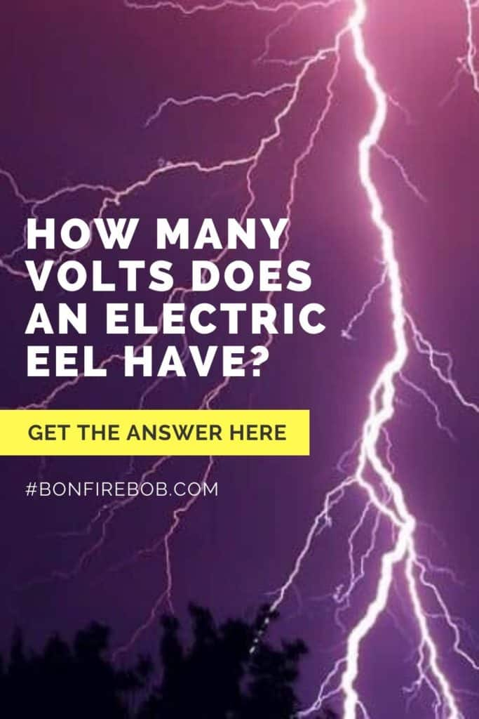 How many volts does an electric eel have? Eels are know for there electricity and I've researched how many volts a South American, electric eel have. Get the answer here. #eelfishing #catchamericaneel #eelfish #eelfishtank #catcheel #eelfishing #fishingforeel #americaneel #americaneelfish