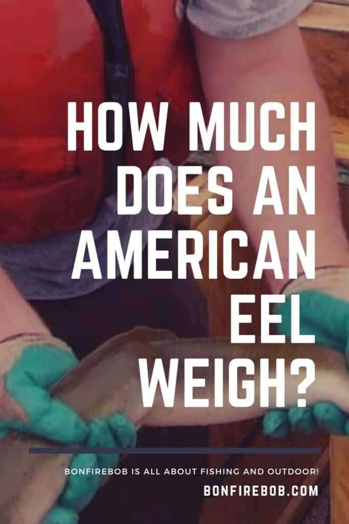 How much does an American Eel weigh? I've got all the facts I think you would find interesting about the weight of an American Eel. #americaneel #americaneelfish #eelfish #eelfishtank #eelfishing #fishingforeel #eelfishing #catchamericaneel #catcheel