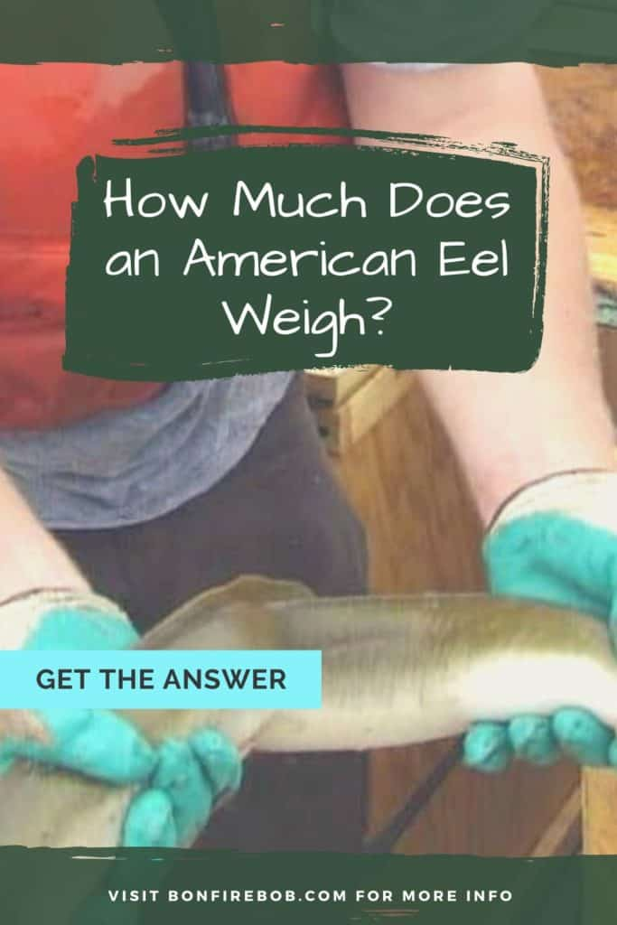 How much does an American Eel weigh? I've got all the facts I think you would find interesting about the weight of an American Eel. #eelfishing #fishingforeel #eelfish #eelfishtank #catcheel #eelfishing #catchamericaneel #americaneel #americaneelfish