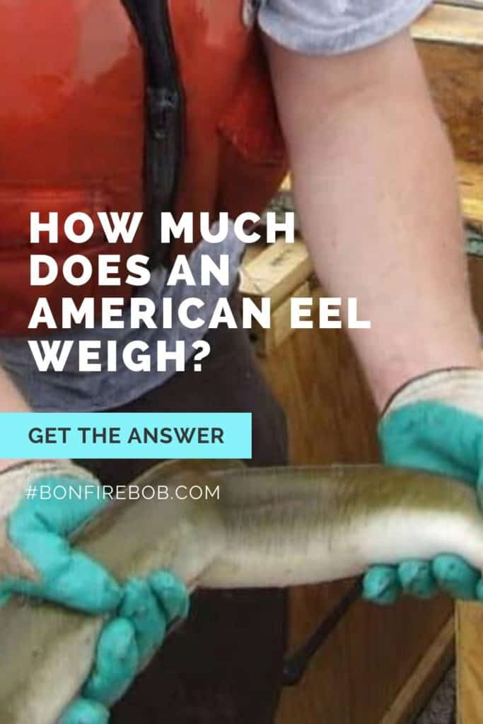 How much does an American Eel weigh? I've got all the facts I think you would find interesting about the weight of an American Eel. #eelfishing #fishingforeel #eelfish #eelfishtank #catcheel #americaneel #americaneelfish #eelfishing #catchamericaneel