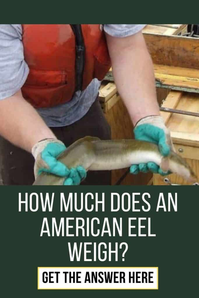 How much does an American Eel weigh? I've got all the facts I think you would find interesting about the weight of an American Eel. #eelfishing #catchamericaneel #eelfishing #fishingforeel #catcheel #americaneel #americaneelfish #eelfish #eelfishtank