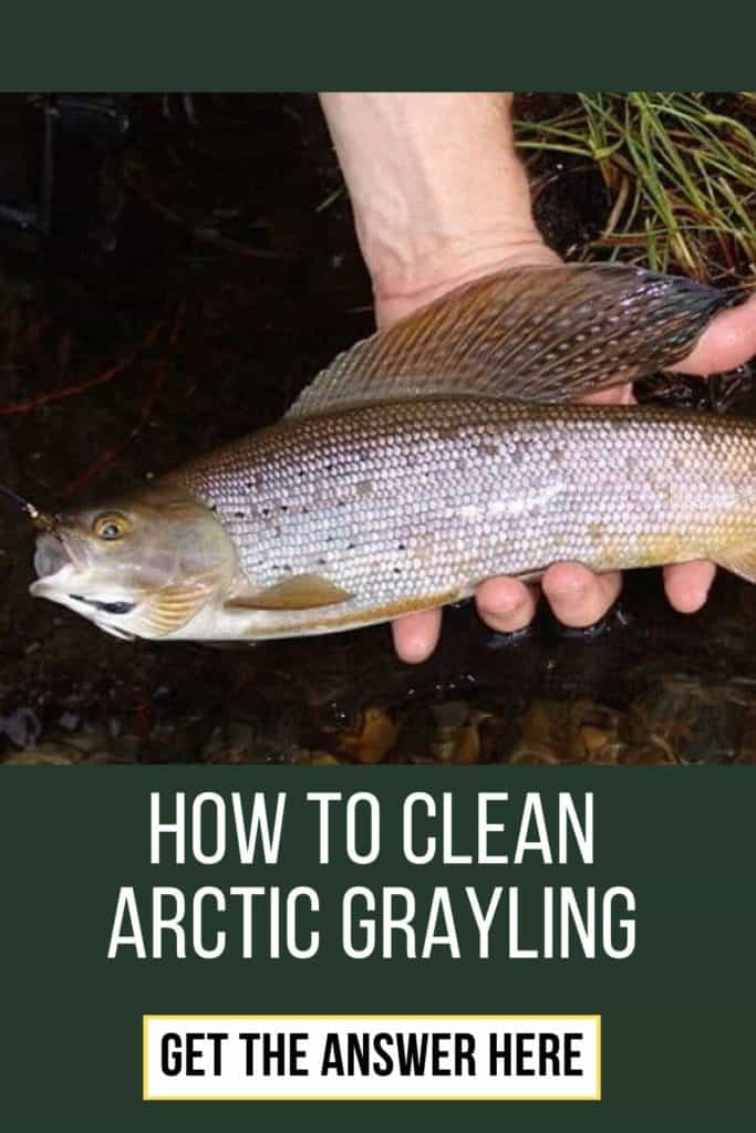 How to clean Arctic Grayling? Learn how to quickly clean an Arctic Grayling with this guide in 7 steps. #graylingfishing #graylingflyfishing #arcticgraylingfish #graylingfish #arcticgrayling #fishing #arcticgraylingfishing #catchgrayling #catcharcticgraying