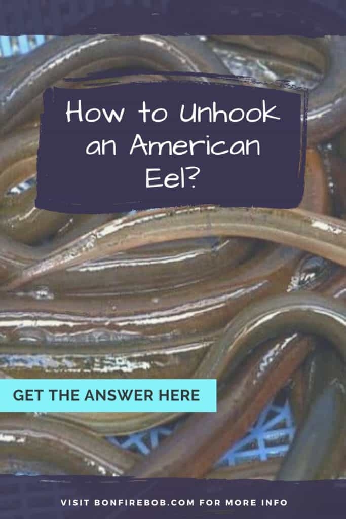 How to unhook an American Eel? Fishing hooks are most commonly removed from an American eel's mouth using a pair of strong forceps to pull it out. But there's more to it. Read it all here. #eelfishing #catchamericaneel #eelfish #eelfishtank #americaneel #americaneelfish #eelfishing #fishingforeel #catcheel