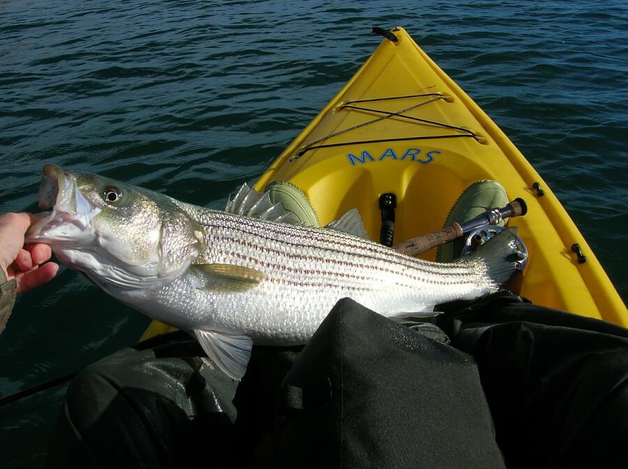 large striped bass in fly fishing kayak