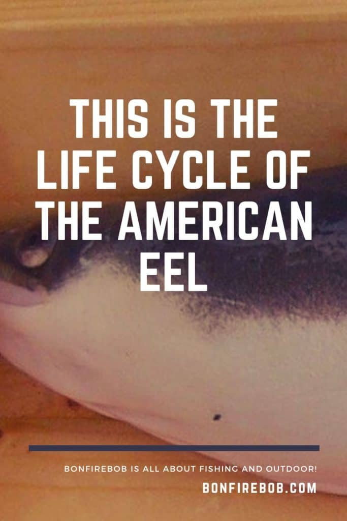 This is the life cycle of the American Eel. Learn about the five phases of metamorphosis over the course of the lifetime of an American Eel. #americaneel #americaneelfish #eelfish #eelfishtank #catcheel #eelfishing #fishingforeel #eelfishing #catchamericaneel