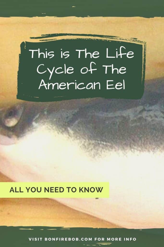 This is the life cycle of the American Eel. Learn about the five phases of metamorphosis over the course of the lifetime of an American Eel. #eelfishing #catchamericaneel #catcheel #americaneel #americaneelfish #eelfishing #fishingforeel #eelfish #eelfishtank