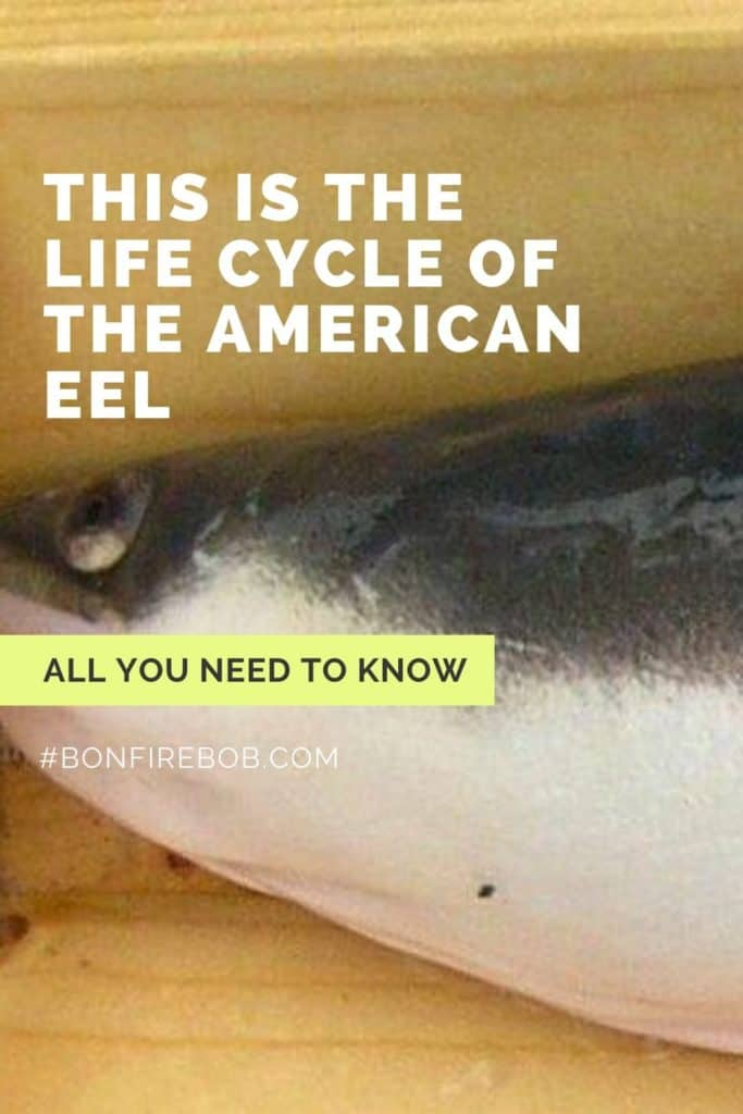 This is the life cycle of the American Eel. Learn about the five phases of metamorphosis over the course of the lifetime of an American Eel. #eelfishing #catchamericaneel #americaneel #americaneelfish #catcheel #eelfishing #fishingforeel #eelfish #eelfishtank