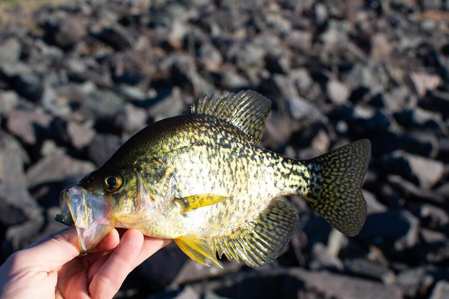 man holding Crappie fish