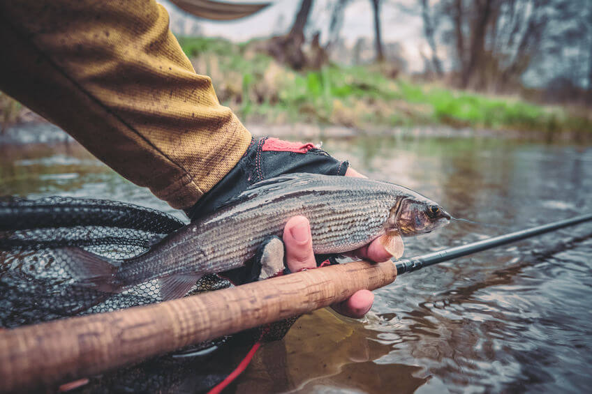 small grayling caught while fly fishing