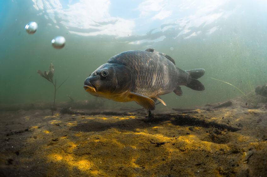 underwater shot of carp in a pond