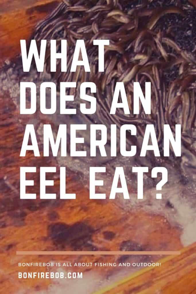 What does American Eel eat? Read about the eating habbits of the American Eel right here. #eelfishing #fishingforeel #catcheel #eelfishing #catchamericaneel #americaneel #americaneelfish #eelfish #eelfishtank