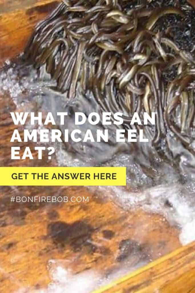 What does American Eel eat? Read about the eating habbits of the American Eel right here. #americaneel #americaneelfish #eelfishing #catchamericaneel #catcheel #eelfishing #fishingforeel #eelfish #eelfishtank