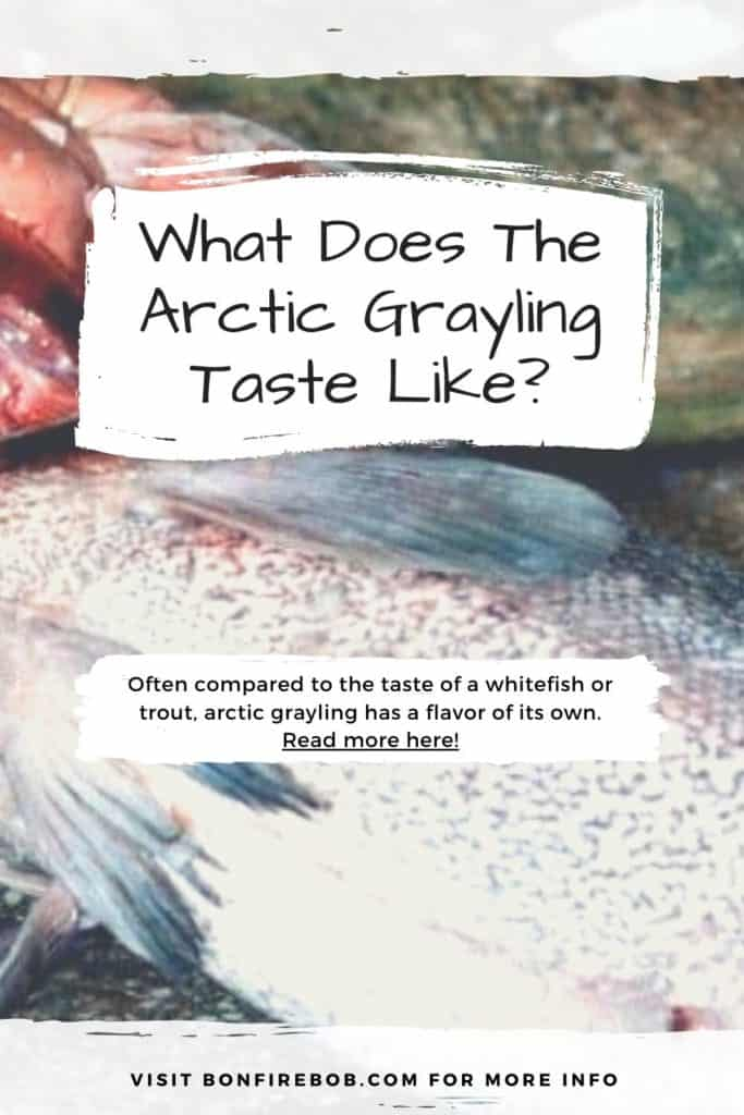What does the Arctic Grayling taste like? While beautiful, we can't help but wonder if the flavor of the Arctic Grayling matches up to its stunning visuals. I'll explain what they taste like here. #fishing #arcticgraylingfishing #catchgrayling #catcharcticgraying #graylingfishing #graylingflyfishing #arcticgrayling #arcticgraylingfish #graylingfish