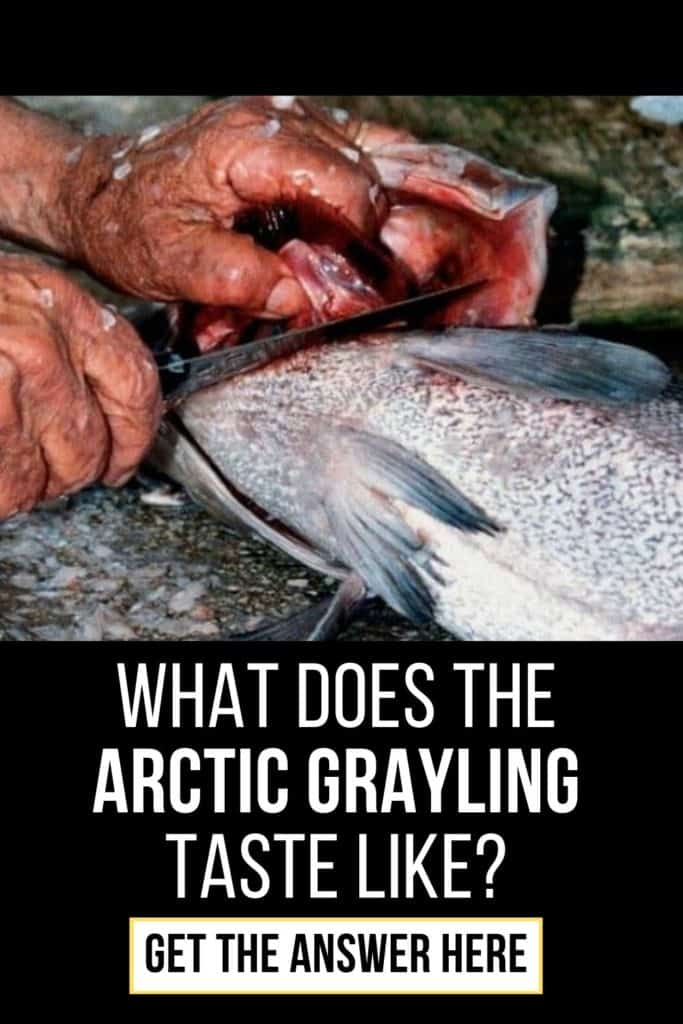What does the Arctic Grayling taste like? While beautiful, we can't help but wonder if the flavor of the Arctic Grayling matches up to its stunning visuals. I'll explain what they taste like here. #fishing #arcticgraylingfishing #catchgrayling #catcharcticgraying #arcticgraylingfish #graylingfish #graylingfishing #graylingflyfishing #arcticgrayling