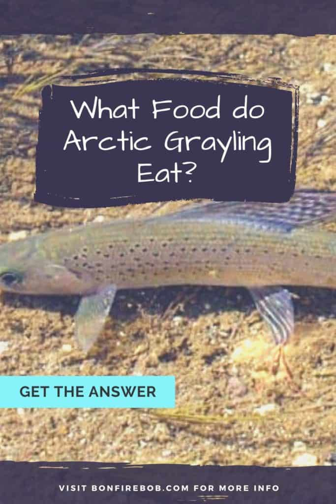 What food do Arctic Grayling eat? Interested in knowing what food Arctic Grayling eat? This is the guide you have been looking for. #graylingfishing #graylingflyfishing #catchgrayling #catcharcticgraying #fishing #arcticgraylingfishing #arcticgraylingfish #graylingfish #arcticgrayling
