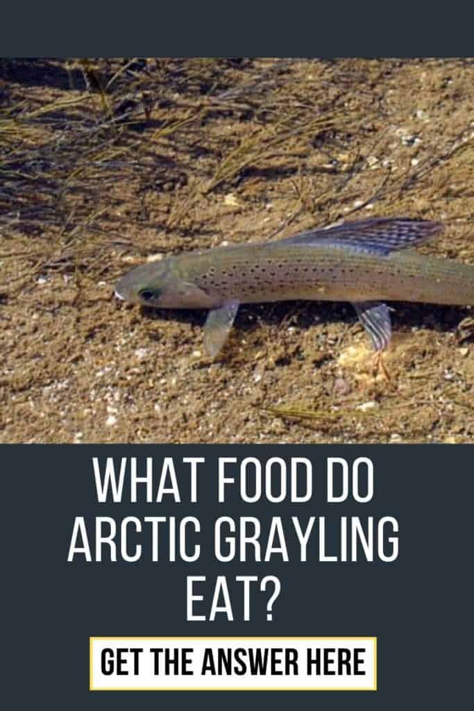What food do Arctic Grayling eat? Interested in knowing what food Arctic Grayling eat? This is the guide you have been looking for. #arcticgrayling #arcticgraylingfish #graylingfish #fishing #arcticgraylingfishing #graylingfishing #graylingflyfishing #catchgrayling #catcharcticgraying
