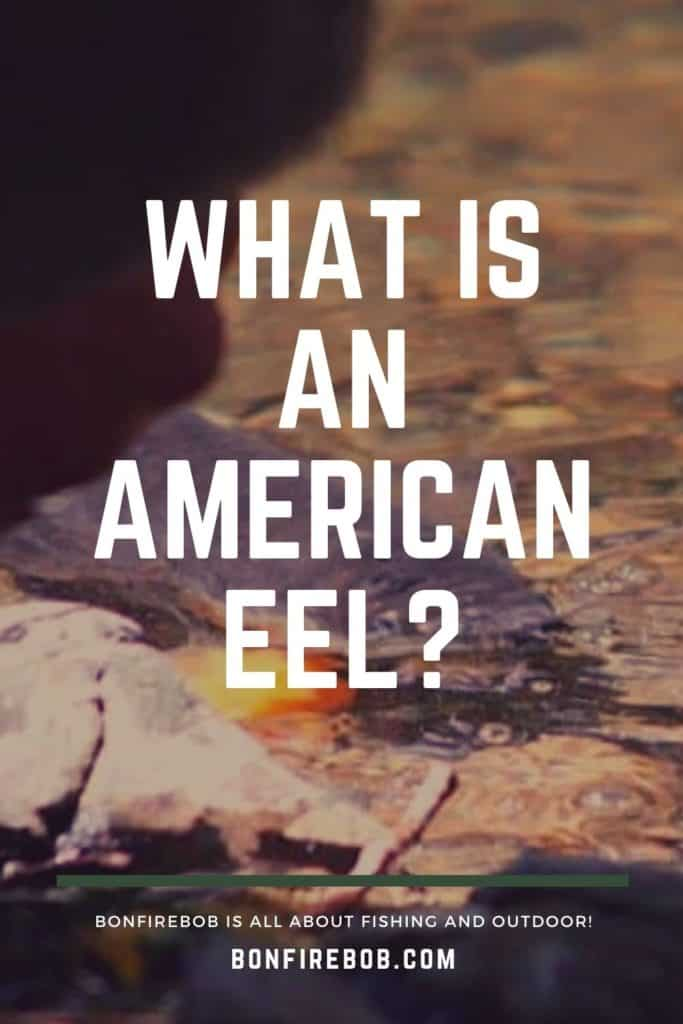 What is an American Eel? The slender, snake-like body that is covered with a muscus layer is an American Eel. Read my complete guide on American Eels right here. #americaneel #americaneelfish #catcheel #eelfishing #fishingforeel #eelfishing #catchamericaneel #eelfish #eelfishtank