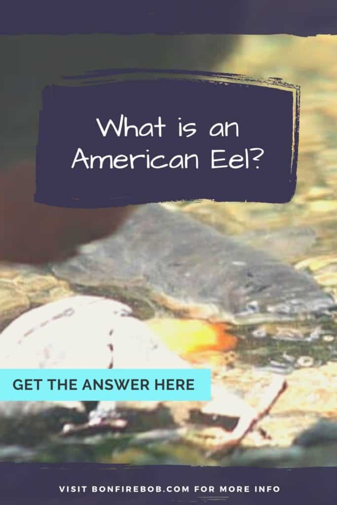 What is an American Eel? The slender, snake-like body that is covered with a muscus layer is an American Eel. Read my complete guide on American Eels right here. #americaneel #americaneelfish #catcheel #eelfishing #catchamericaneel #eelfishing #fishingforeel #eelfish #eelfishtank