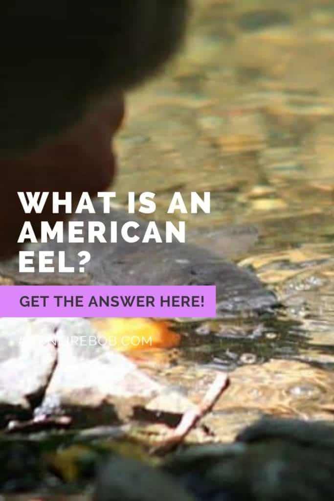What is an American Eel? The slender, snake-like body that is covered with a muscus layer is an American Eel. Read my complete guide on American Eels right here. #americaneel #americaneelfish #eelfishing #catchamericaneel #catcheel #eelfishing #fishingforeel #eelfish #eelfishtank