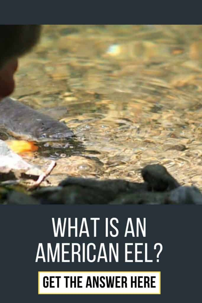 What is an American Eel? The slender, snake-like body that is covered with a muscus layer is an American Eel. Read my complete guide on American Eels right here. #eelfishing #fishingforeel #americaneel #americaneelfish #catcheel #eelfishing #catchamericaneel #eelfish #eelfishtank