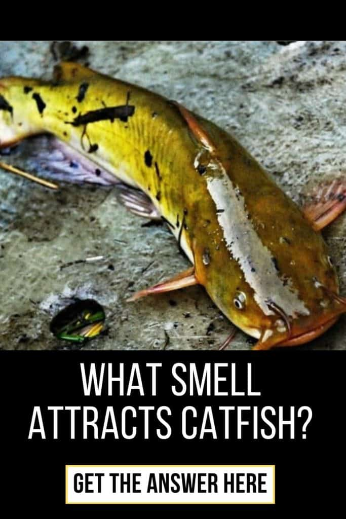 What smell attacts catfish and more precisely what scents attract catfish? Catfish are one species of fish with an extremely strong sense of smell and in this post I'll share all you need to know to catch more catfish. #catfishsmell #catfishscent #catfishbait #catfishing #catfishfishing #catfishtips #findingcatfish #fishingforcatfish #tipscatfish #fishing #fishingtips #fishingbeginners #fishingtricks