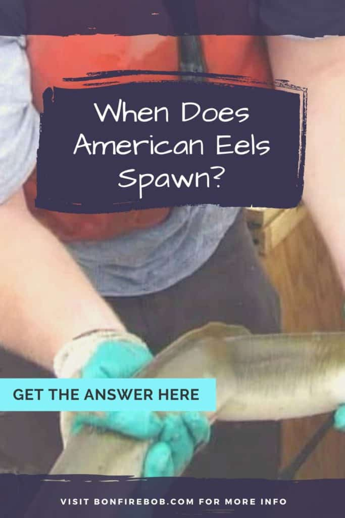When does American Eel spawn? Are you interested in knowing when the American Eel spawn? Read this article and you will know everything about it. #eelfishing #catchamericaneel #catcheel #eelfishing #fishingforeel #americaneel #americaneelfish #eelfish #eelfishtank