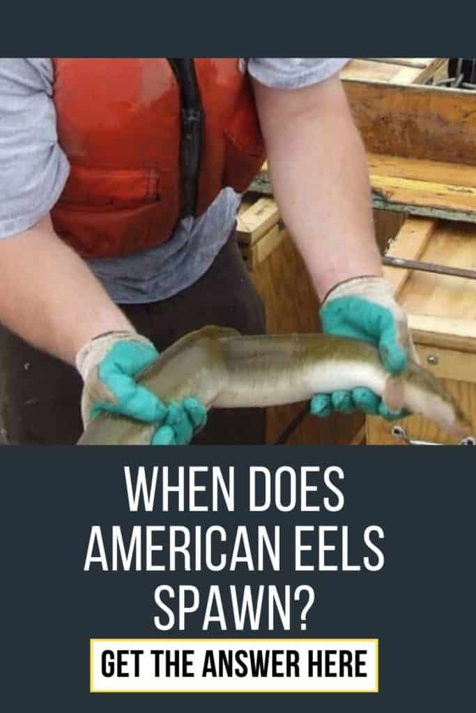 When does American Eel spawn? Are you interested in knowing when the American Eel spawn? Read this article and you will know everything about it. #americaneel #americaneelfish #eelfish #eelfishtank #eelfishing #catchamericaneel #eelfishing #fishingforeel #catcheel