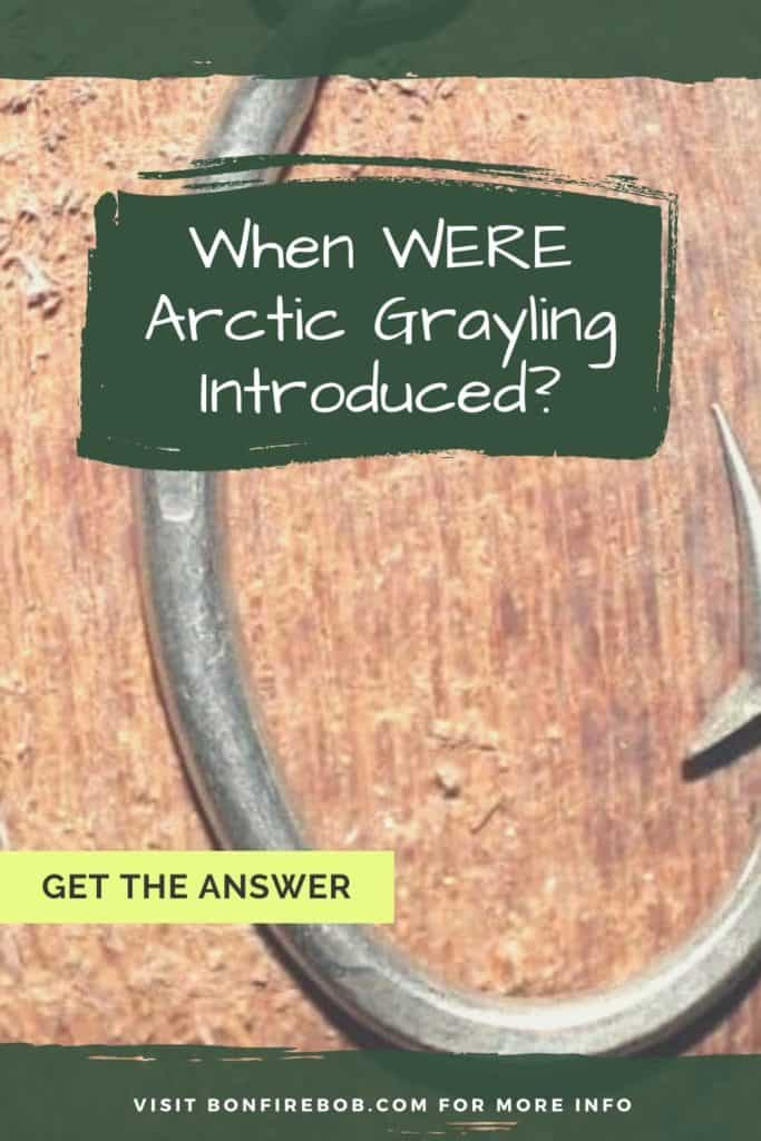 When were Arctic Grayling introduced? Learn all you need to know about the Arctic Grayling right here at bonfirebob. #fishing #arcticgraylingfishing #arcticgrayling #arcticgraylingfish #graylingfish #graylingfishing #graylingflyfishing #catchgrayling #catcharcticgraying