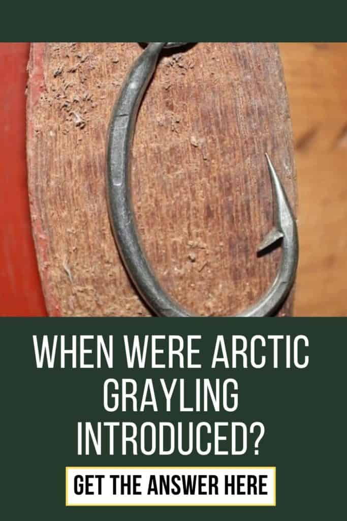 When were Arctic Grayling introduced? Learn all you need to know about the Arctic Grayling right here at bonfirebob. #graylingfishing #graylingflyfishing #fishing #arcticgraylingfishing #arcticgraylingfish #graylingfish #arcticgrayling #catchgrayling #catcharcticgraying