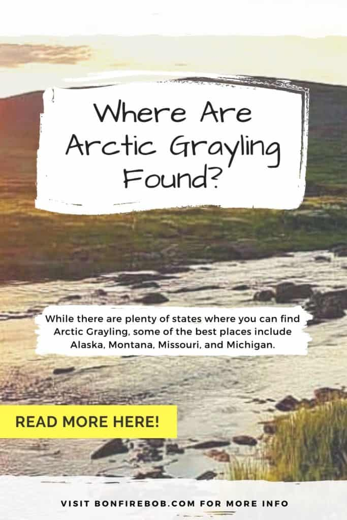 Where are Arctic Grayling found? The Arctic Grayling is an elusive fish, located at many places like Russia, Canada and Northern California. Read all you need to know here. #graylingfishing #graylingflyfishing #catchgrayling #catcharcticgraying #arcticgrayling #fishing #arcticgraylingfishing #arcticgraylingfish #graylingfish