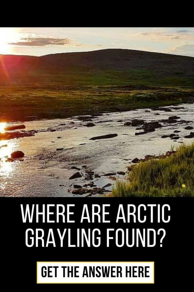 Where are Arctic Grayling found? The Arctic Grayling is an elusive fish, located at many places like Russia, Canada and Northern California. Read all you need to know here. #graylingfishing #graylingflyfishing #arcticgraylingfish #graylingfish #fishing #arcticgraylingfishing #arcticgrayling #catchgrayling #catcharcticgraying