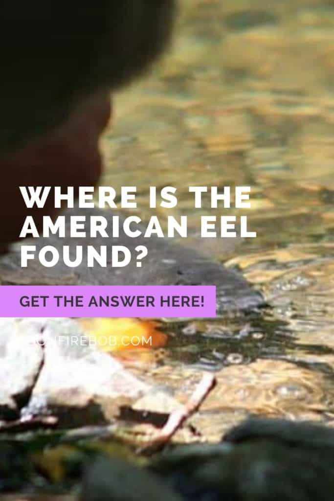 Where is the American Eel found? American Eels can be found in freshwater rivers and spawn in the ocean. Read this article if you want to know where you can find American Eels #eelfishing #fishingforeel #eelfishing #catchamericaneel #catcheel #americaneel #americaneelfish #eelfish #eelfishtank